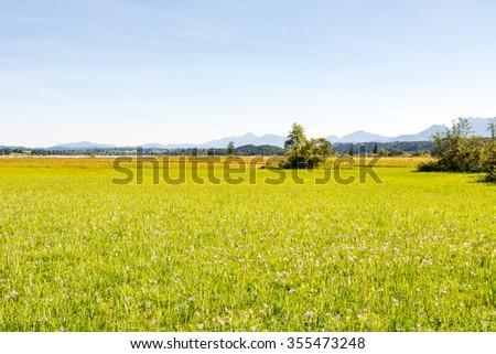 Meadow full of crocus flowers in the moor at lake Staffelsee (Bavaria, Germany) - stock photo