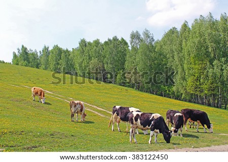 Meadow full of dandelions with grazing cows - stock photo