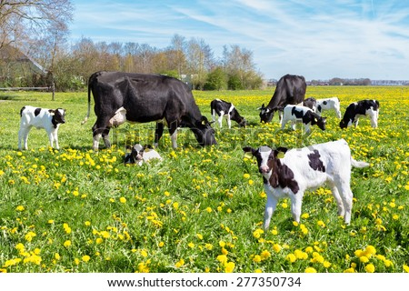 Meadow full of dandelions with grazing cows and calves - stock photo