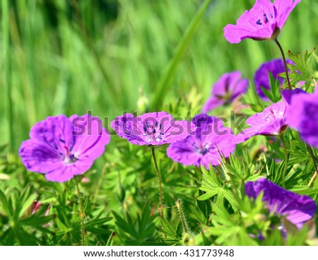 Meadow geranium (Geranium pratense) flowers blooming in the summer field.Selective focus.Beautiful pink flowers.Floral background. - stock photo