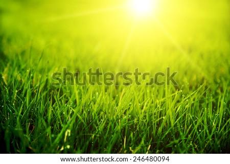 Meadow green lush grass. Closeup. Dew drops. Sunset - stock photo