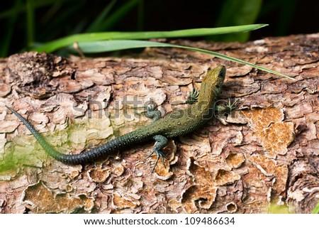 Meadow lizard, warming afternoon sun on the tree. - stock photo