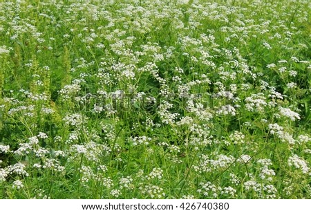 Meadow of blooming hemlock  - stock photo