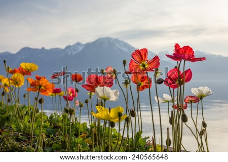 Meadow of colourful blossoming rose poppies (Papaver rhoeas) by the Alpine mountain lake - stock photo