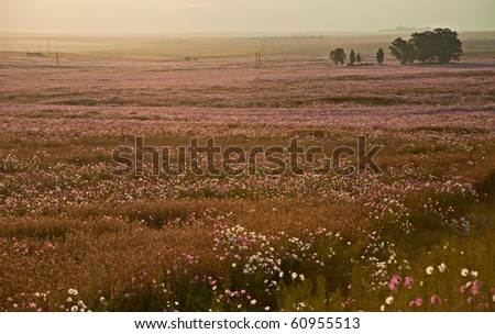 Meadow of cosmos flowers in bloom on the South African Highveld