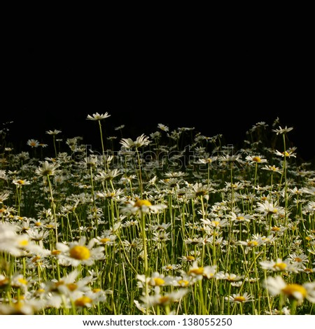 meadow of daisies that is lost in a shadowy forest - stock photo