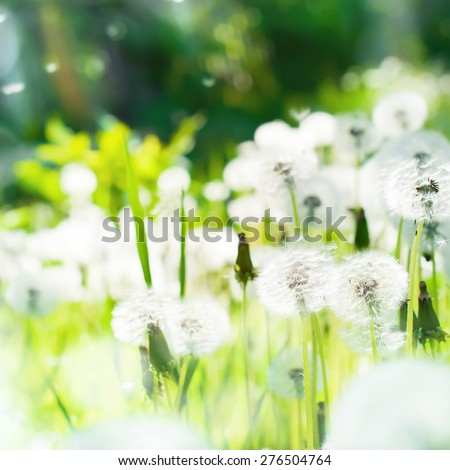 Meadow of Dandelions at sunlight background. Square - stock photo