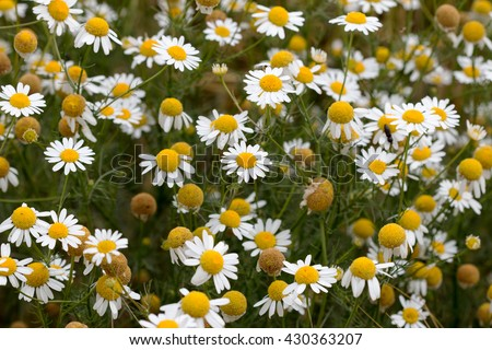 Meadow of German chamomile - medicinal herb