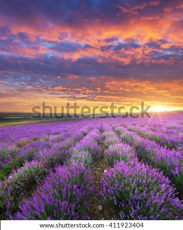Meadow of lavender on sunrise. Nature composition. - stock photo