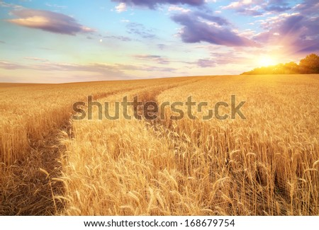Meadow of wheat. Beautiful landscape.  - stock photo