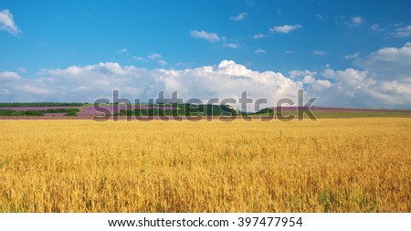 Meadow of wheat in mountain. Nature composition. - stock photo