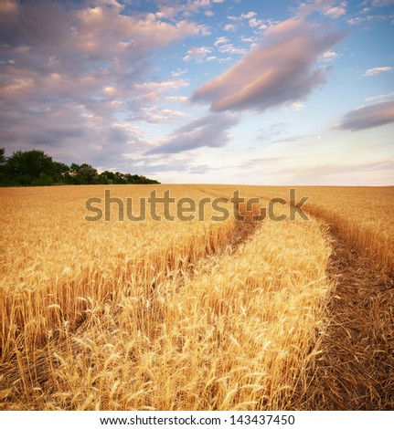 Meadow of wheat. Nature composition. - stock photo