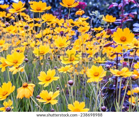 meadow of yellow flowers on a clear day - stock photo