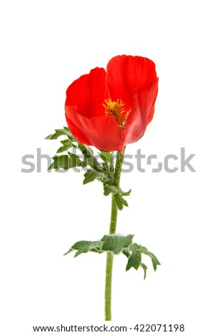 meadow poppy isolated on white background - stock photo