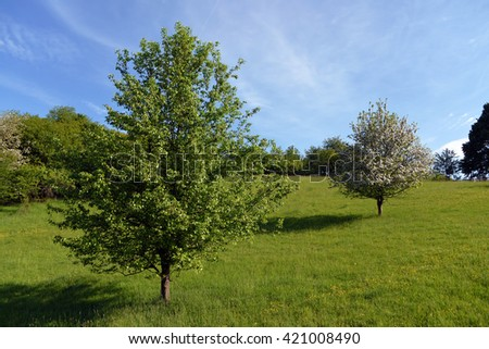 Meadow with apple tree in bloom