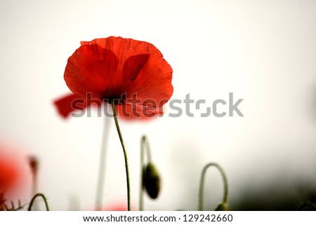 Meadow with beautiful bright red poppy flowers in spring - stock photo