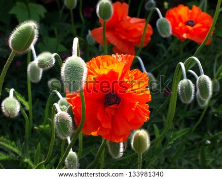 Meadow with beautiful bright red poppy flowers in the summer. - stock photo