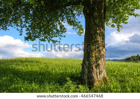 Meadow with big tree with fresh green leaves