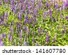 Meadow with blooming Blue Salvia herbal flowers. Blue Salvia is plant in the mint family. - stock photo