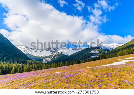 Meadow with blooming crocus flowers in Chocholowska valley in spring, Tatra Mountains, Poland - stock photo