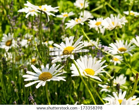 Meadow with blooming oxeye daisy flowers in summer.