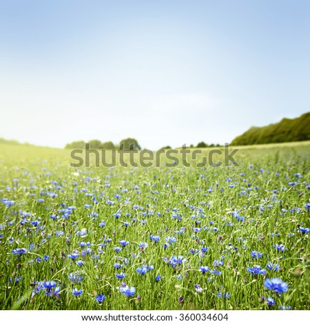 Meadow with blue cornflowers, sunny summertime picture - stock photo