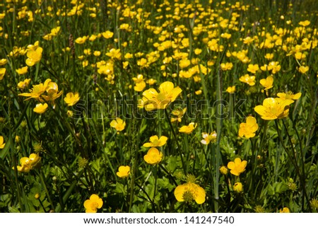 Meadow with Buttercups - stock photo
