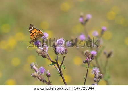 meadow with cosmopolitan butterfly and hovering syrphid fly (at right)