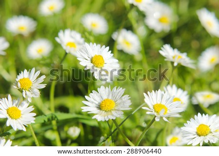 Meadow with daisies,  green background with flowers.