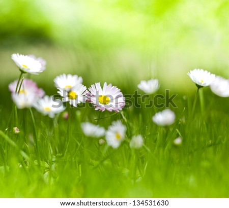 meadow with daisies, shallow deep of field - stock photo