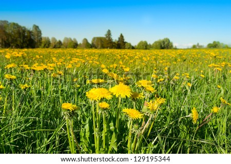 meadow with dandelions and a blue sky in the background