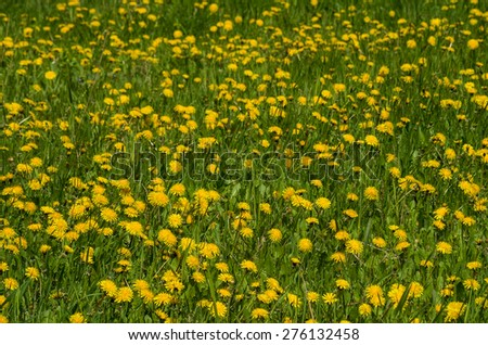 Meadow with the yellow dandelions - stock photo