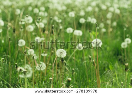 Meadow with white dandelions - stock photo