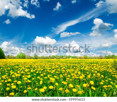 Meadow with yellow dandelions. - stock photo