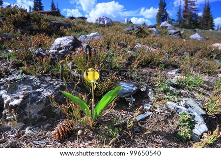Meadows of wildflowers in the Snowy Range Mountains of Wyoming - stock photo