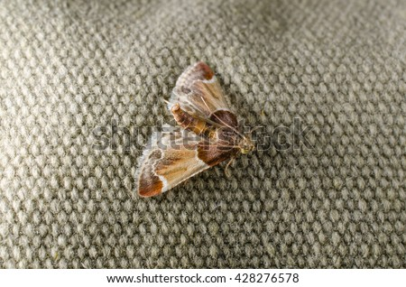 meal moth (pyralis farinalis) in resting position - stock photo