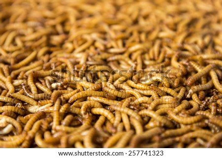 Mealworm for Bird Feed is High Protein