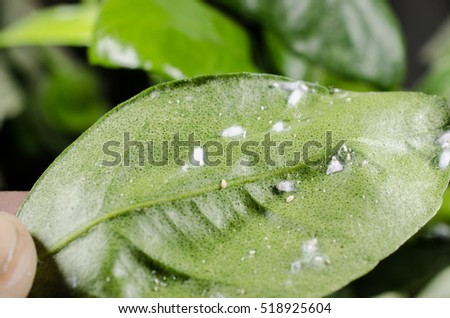 mealybug colony (citrus plant)