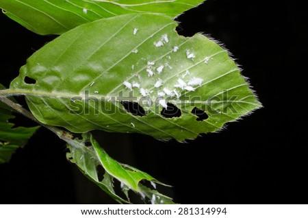 mealybugs under leaf - stock photo