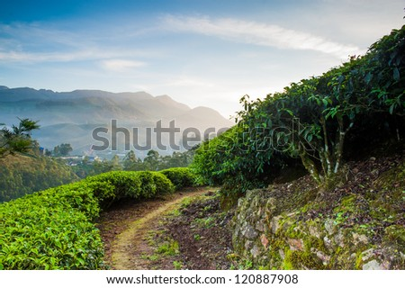 Meandering paths through the tea gardens of Munnar, India. Early - stock photo