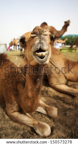 MECCA, SAUDI ARABIA - MAY 23: A camel is seen from the many that breeds in a camel farm in Mecca. May 23, 2013. - stock photo