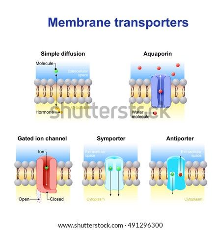 transport across membrane 1 movement across membranes blood capillary intestinal epithelial cells glucose from meal (c) glucose transport across intestinal epithelium into the blood system.