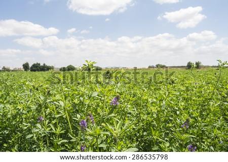 Medicago sativa in bloom (Alfalfa) - stock photo