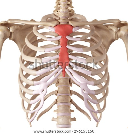 human skeleton breast chest front view stock illustration, Cephalic Vein