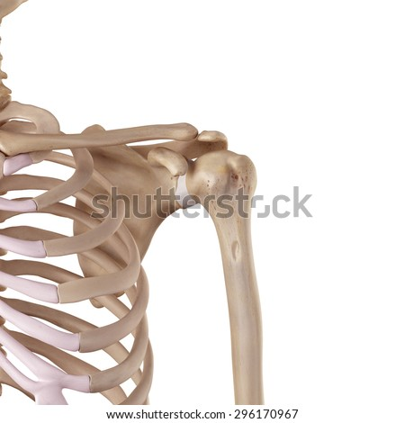 medical accurate illustration of the glenohumeral ligament
