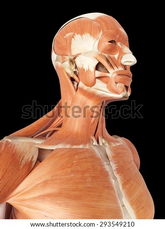 neck muscles stock images, royalty-free images & vectors, Human Body