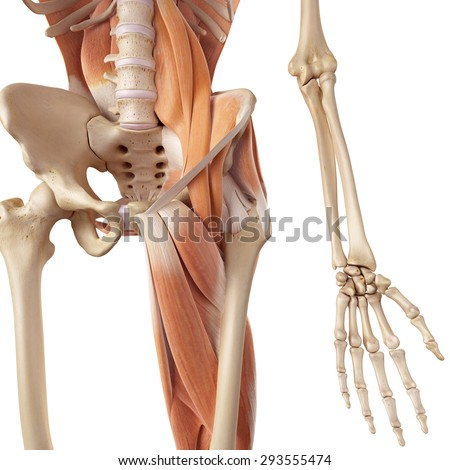 medical accurate illustration of the hip and leg muscles - stock photo