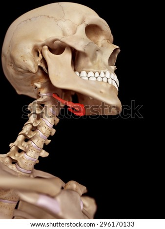 Hyoid Stock Images Royalty Free Images amp Vectors