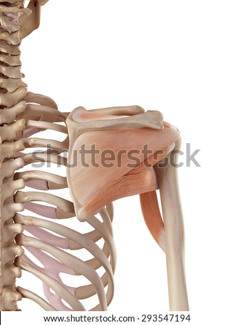 medical accurate illustration of the shoulder muscles - stock photo