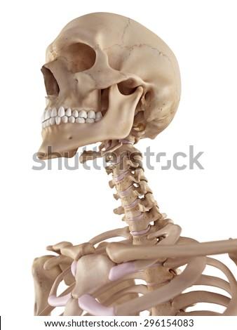 neck bones stock images, royalty-free images & vectors | shutterstock, Skeleton